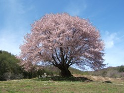 天王桜-2